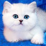 Британские котята с изумрудными и синими глазками