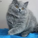 Длинная шерсть бывает у британских котят.