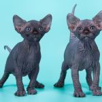 Элитные котята Эльфов, бамбино, канадского сфинкса.