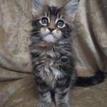 Котята Мейн-кун от красивых титулованных родителей