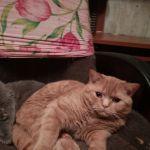 клубные красные котята