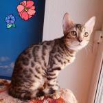 Котята из питомника. Бенгалы и Саванна.