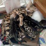 Бенгальские котята красивого редкого окраса