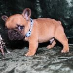 Чудесные щенки Французского бульдога ждут своих хозяев