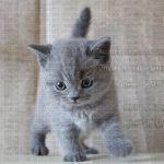 Клубные котята британской породы из питомника