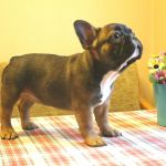 Породистые щенки Французского бульдога