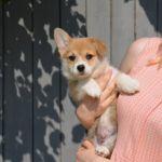 Высокопородный щенок Вельш Корги Пемброк